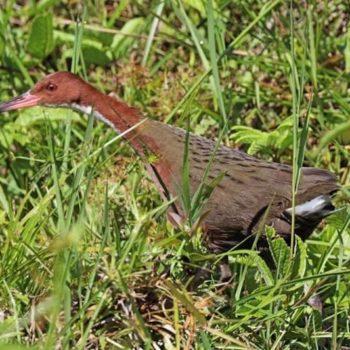El pájaro extinto que volvió de entre los muertos